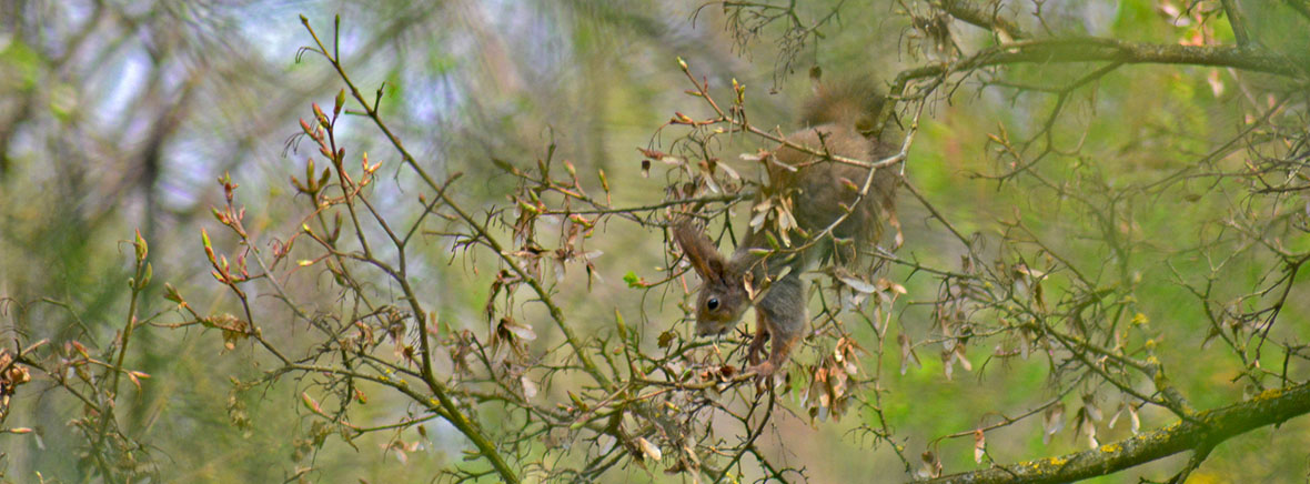Vörös mókus